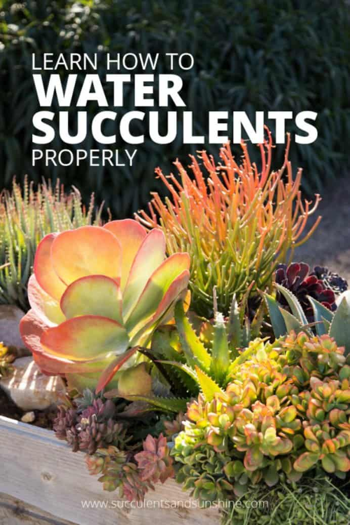 Find out the best way to water succulents indoors and out. Watering Succulent Plants - How To From An Expert Do you find your succulents are dying? There is a common myth that succulents don't need much water. Cassidy from Succulents and Sunshine shares with us how to best water succulents Please share. Sign up to our craft inspiration roundup newsletter and make Mondays more manageable. Fabulous Crafty ideas and projects delivered to your inbox - CraftyLikeGranny.com #succulents #gardeningtips