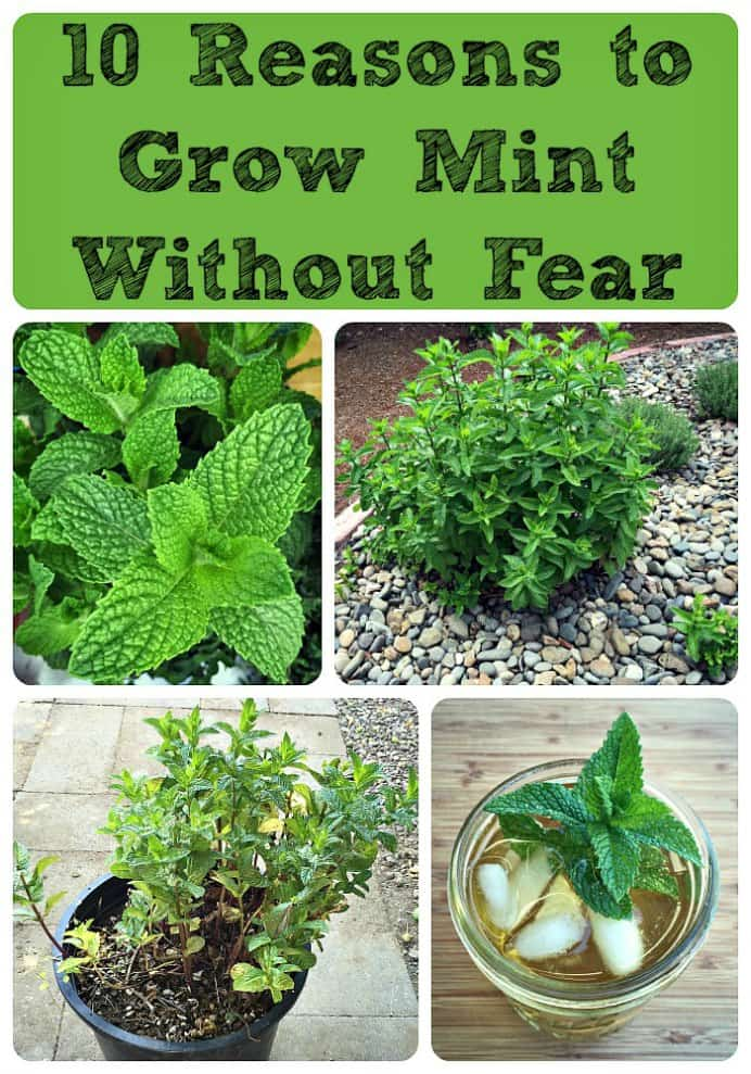 People can sometimes be put off growing mint. It is known as a herb that can take over. However Colleen and Joel over at Grow Forage Cook Ferment have an an excellent guide to growing mint without it getting out of control! Please share and make Mondays fun, get our craft inspiration delivered to your inbox - CraftyLikeGranny.com #gardening #gardeningtips #gardeninghacks
