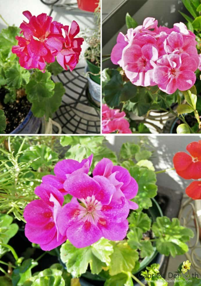 Geraniums bring color to any garden and make an excellent choice for balcony gardens. Easy to care for and look fabulous in pots. Gabriela Delworth shares why Geraniums are one of the best plants. Please share. Make Mondays more manageable and sign up for our craft inspiration newsletter. Delivered to your inbox - CraftyLikeGranny.com #gardening #gardeninghacks #gardentips