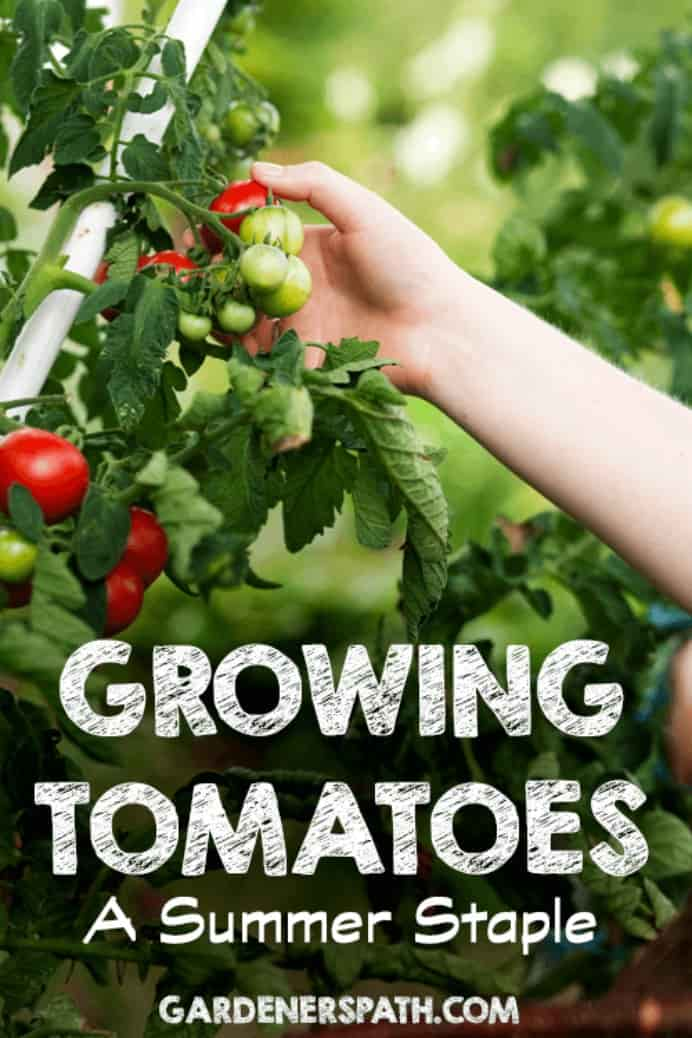 Homegrown Tomatoes harvested in the warmer months are fragrant and sweet. Here's a guide by Gardener's Path to growing your own delicious tomatoes. Please share. Sign up to our craft inspiration roundup newsletter and make Mondays more manageable. Fabulous Crafty ideas and projects delivered to your inbox - CraftyLikeGranny.com #gardening #gardeningtips #growfood